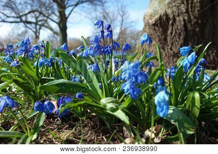 Fragile blue small spring flowers in park in Sweden, Scandinavia, Close up shot with soil and trees