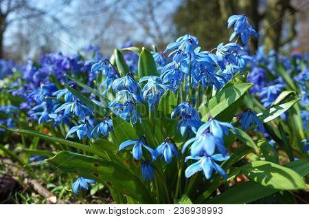 Fragile blue small spring flowers in park in Sweden, Scandinavia, Close up shot