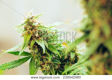 marijuana cbd thc. bud cannabis, Concepts of legalizing medicinal herbs weed, Macro shot with sugar trichomes, buds grown cannabis in the house, Bud cannabis before harvest poster