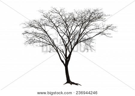 Dead Tree Isolated On Background. Single Old And Dry Trees Die  On White Background.