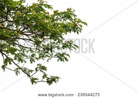 Green Leaf Isolated On White Background. Green Tree Isolated On White Background. Isolated Trees On