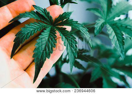 Young Beautiful Plant Medical Marijuana Marijuana Leaves, Macro Cannabis Beautiful Background, Indoo