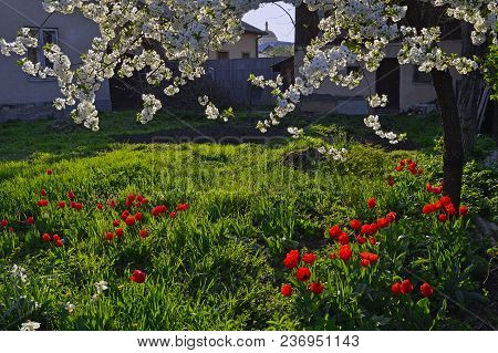 Under The Blossoming Cherry Many Red Tulips And White Daffodils