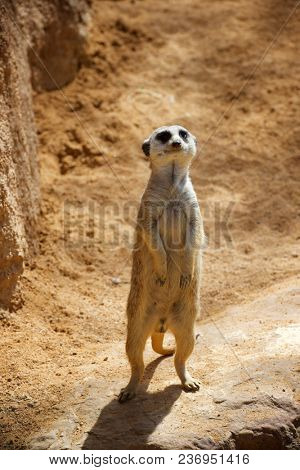 Meerkat. Valencia, Spain.