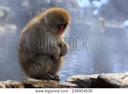 Snow Monkey Gazes Into The Distance In Nagano, Japan