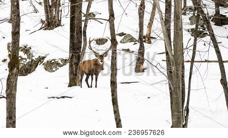 This Wapiti Was Walking In The Snow, Forest In Quebec, Canada