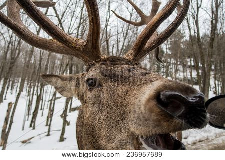 This Wapiti Was Waiting In The Snow, Forest Before Crossing The Road To Ask For A Carrot.