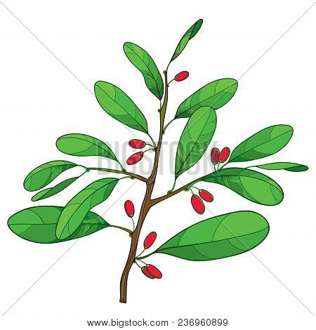 Vector outline branch of Cocaine plant or Erythroxylum coca with ornate green leaf and red fruit isolated on white background. Drawing of cultivated Coca bunch in contour style for summer design. poster