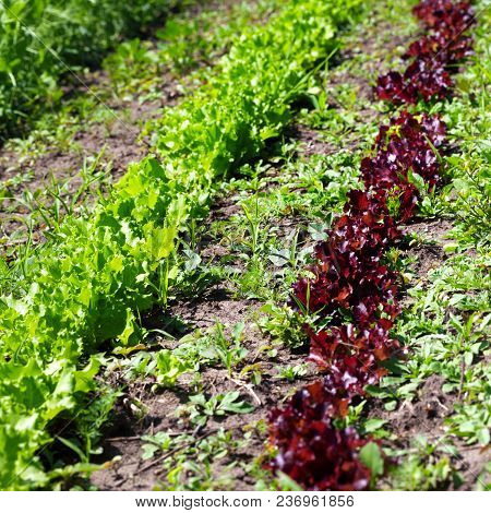 Rows Of Young Green And Red Salad Lettuce (lactuca Sativa) Growing In Field At Sun Spring Day. Selec