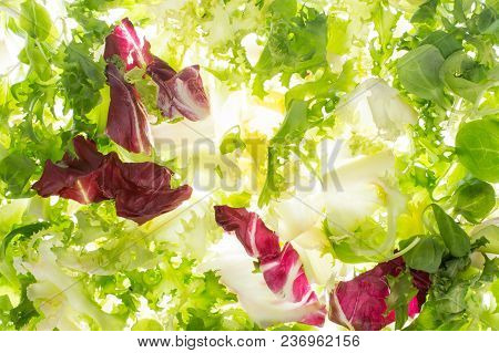 Fresh Lettuce In Backlight. Salad Fly On White Background