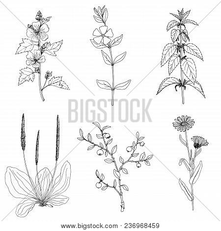 Nettle, Ink Drawing Medicinal Plant, Monochrome Botanical Illustration In Vintage Style, Isolated Fl