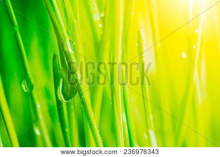 Bright Fresh Vibrant Spring Green Grass Close-up With Some Rain Drops Under Bright Warm Sun Light.