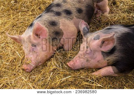 Couple Sleeping Pigs. Two Young Pigs Are Sleeping Sweetly On A Straw Mat In A Pigsty. Pig Farm.