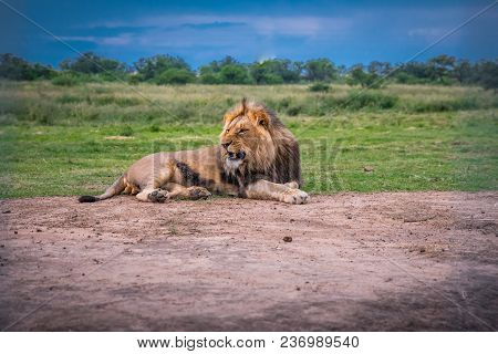 Wild Male Lion On Red Ground - Animal In Africa