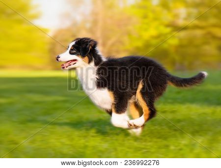 Happy Aussie dog runs on meadow with green grass in summer or spring. Beautiful Australian shepherd puppy 3 months old running at field. Cute dog enjoy playing at park outdoors.