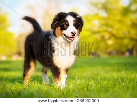 Happy Aussie dog walking at meadow with green grass in summer or spring. Beautiful Australian shepherd puppy 3 months old. Cute dog enjoy playing at park outdoors.