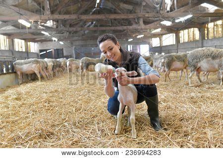 Breeder woman feeding lamb with baby bottle