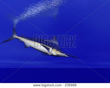 Marlin Swimming