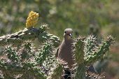 Dove in a nest built in a chollas cactus poster