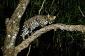 Very rare ocelot in the night of brazilian jungle, endangered and nocturnal species, leopardus pardalis in latin, wild animal in the nature habitat. Beautiful large ocelot male on a tree. Wild Brazil poster