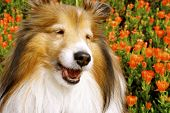 This is a shetland sheepdog, much like the Collie in appearance, but a smaller version. poster