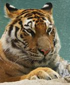 A closeup of a tiger in the water at the Zoo. poster