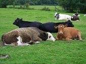 cows laying down poster