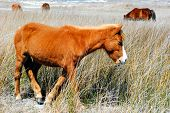 Wild ponies on Shackleford Banks, Coastal North Carolina poster