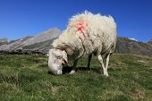 Image of a domestic ram grazing at high altitude in Pyrenees mountains. poster