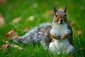 A close-up image of a curious and cute common North-American brown squirrel poster