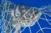 Big grouper in fishing net. poster