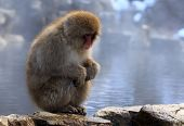Snow monkey gazes into the distance in Nagano, Japan poster