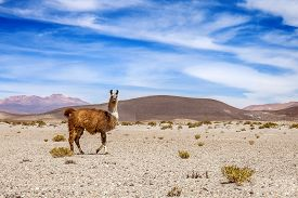 Wild Lama On The Mountains Of Andes. Mountain And Blue Sky In The Background. Stock Photo