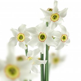 Image Of Narcissus On White Background Close-up