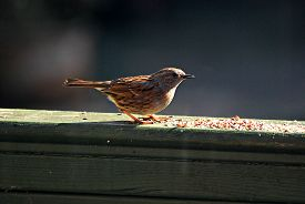 A Dunnock (prunella Modularis) Stands On A Battered Green-painted Fence, Eating Seeds. Taken In Upto