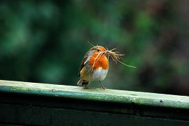 A Robin (erithacus Rubecula) Stands On A Battered Green-painted Fence, Carrying Straw For Nest-build