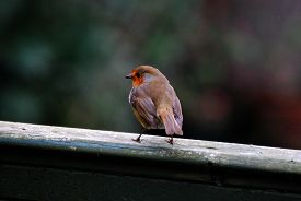 A Robin (erithacus Rubecula) Stands On A Battered Green-painted Fence. Taken In Upton-by-chester, En