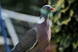 Close-up Of Wood Pigeon In Sunlight Taken Through Glass With Slightly Out-of-focus Reflections And L