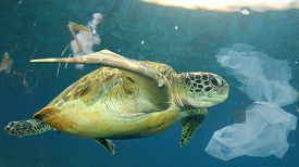 Plastic pollution in ocean environmental problem. Sea Turtle swims through discarded plastic rubbish which it can mistake for jellyfish food