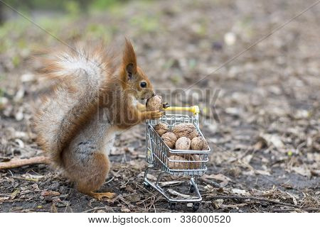 Red Squirrel Does Shopping With The Small Shopping Cart Full Of Walnuts