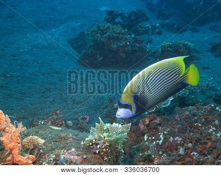An Emperor Angelfish At The Liberty In Tulamben, Bali