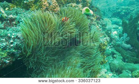 Maroon And Percula Clownfish Share An Anemone In Tulamben, Bali