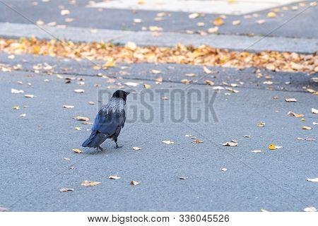 Hooded Crow Corvus Cornis Walks Across A Street During A Sunny Autumn Day