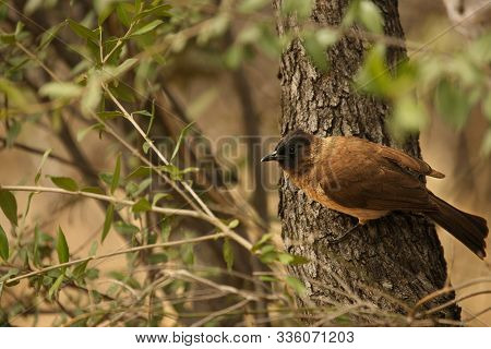 The African Red-eyed Bulbul Or Black-fronted Bulbul (pycnonotus Nigricans) Sitting On The Branch In