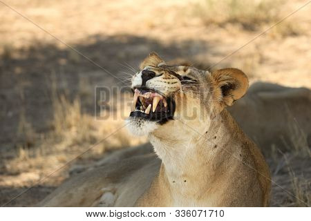 Lioness (panthera Leo) Laying In Sand In Kalahari Desert. Lioness With Open Mouth Show Teeth.