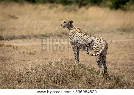 Female Cheetah Stands On Mound Flicking Tail