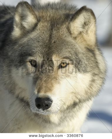 Portrait of a gray wolf in winter coat. Northern Minnesota poster