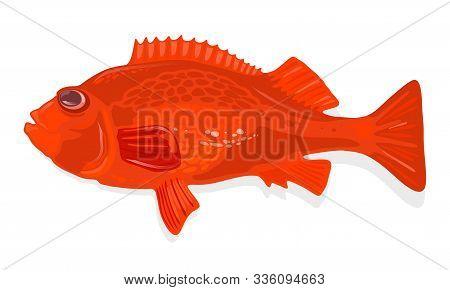 Rockfish, Acadian Redfish Is Marine Deep-water Fish Of Sebastes Genus With Reddish-orange Body. Perc
