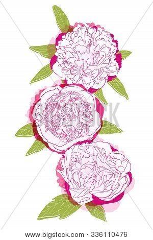 Three Pink Blooming Peonies On A White Background