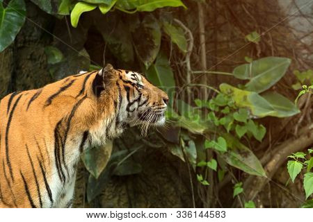 Close Up Of Indochinese Tiger Standing In Front Of Tunel Of Forest; Panthera Tigris Corbetti Coat Is